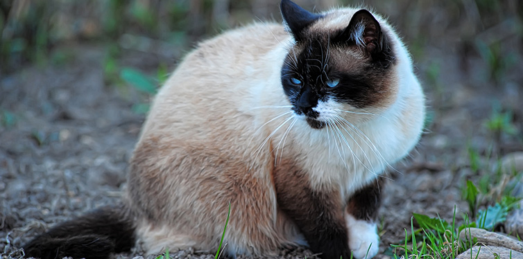 siamese snowshoe cat on green grass