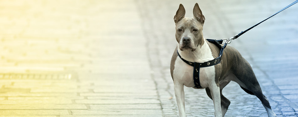 Beautiful Pitsky dog in the street