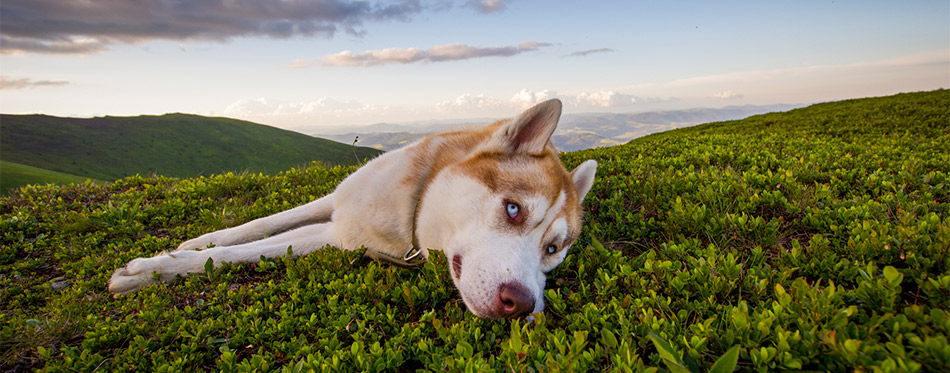 Cute Siberian husky dog is lying on the green field