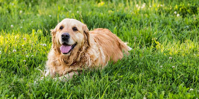 Golden retriever dog sitting on the grass