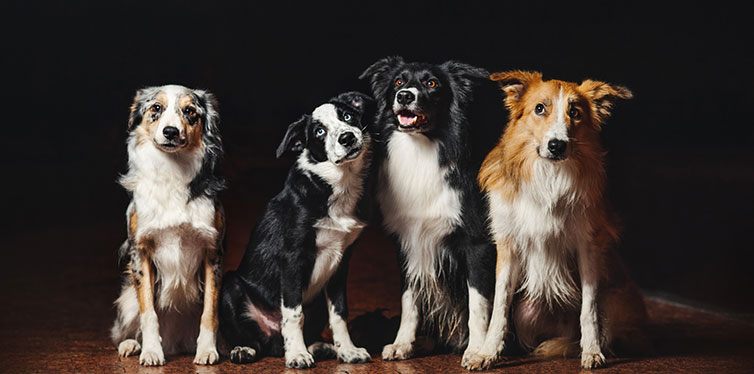 Group of happy dogs border collies at the night