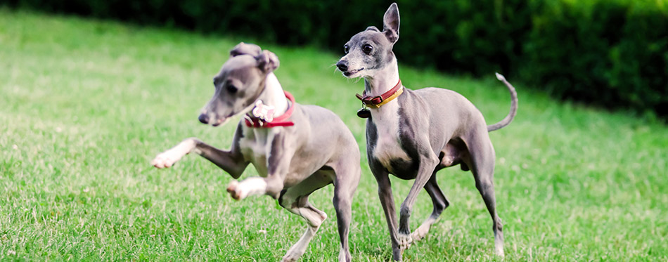 Italian Greyhound playing