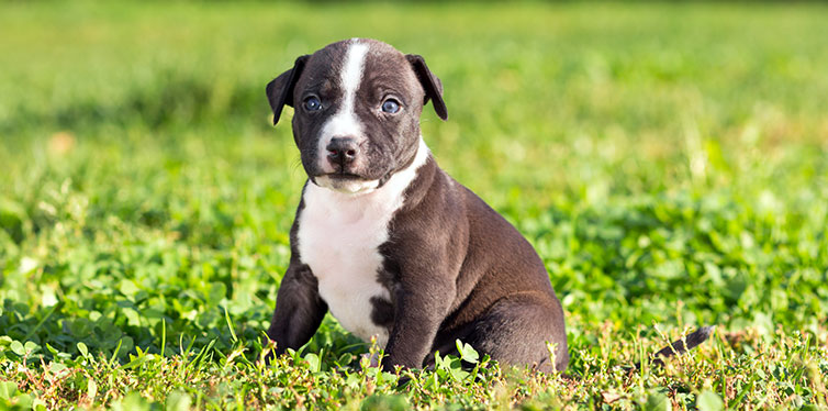 Pit bull terrier puppy