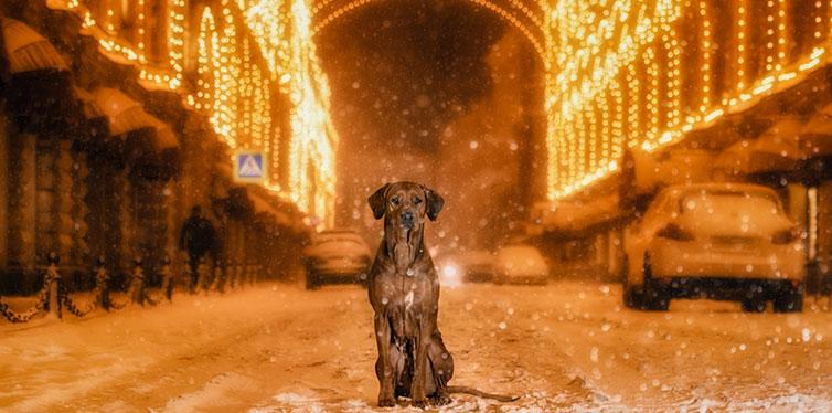 Rhodesian Ridgeback dog in the night city