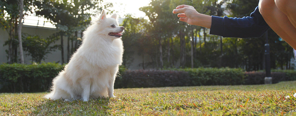 Woman feeding Pomeranian dog