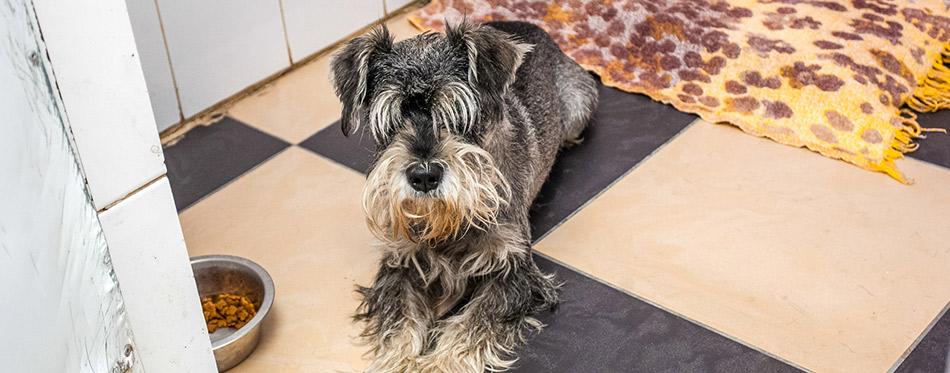 Zwergschnauzer abandoned dog laying on pad