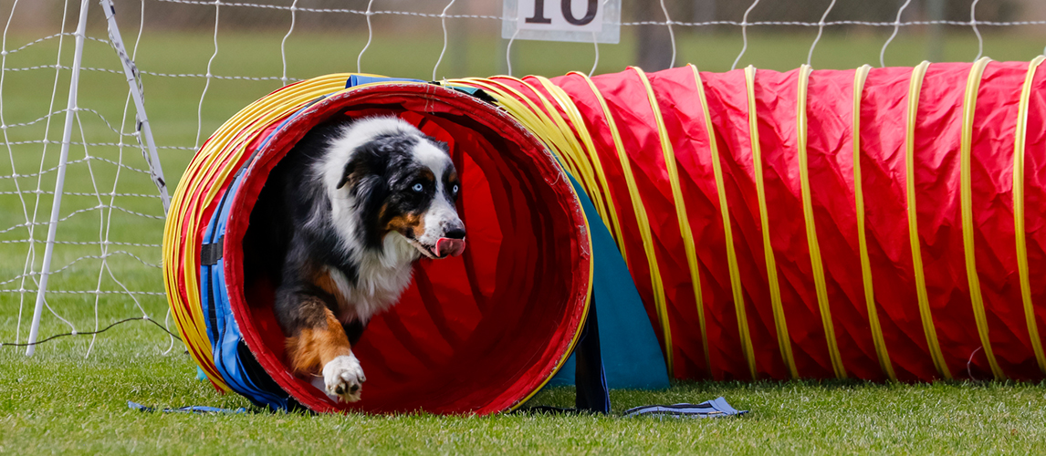 Aussie dog on the agility course