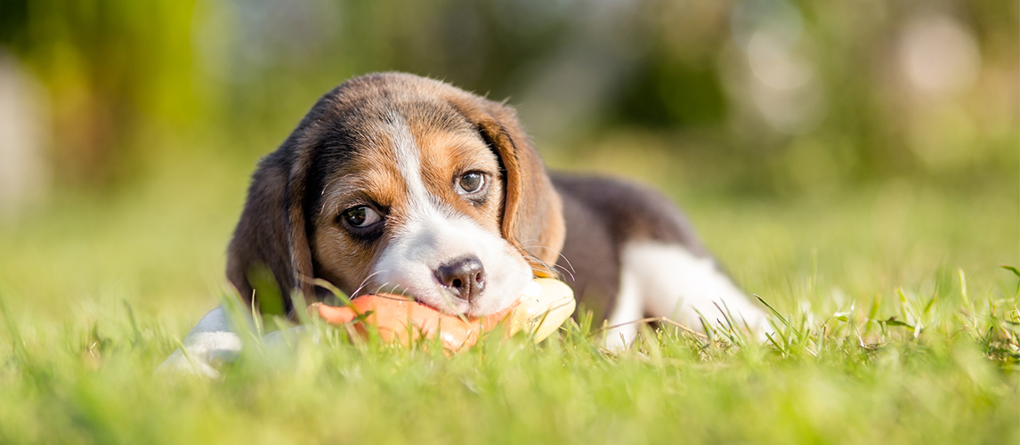 Beagle dog playing with the toy