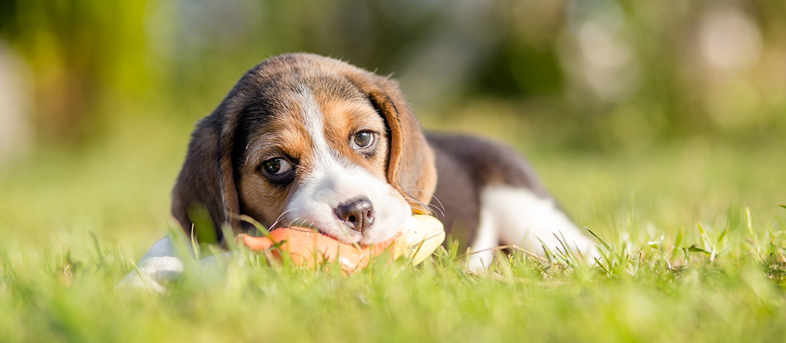 Beagle puppy chewing the toy