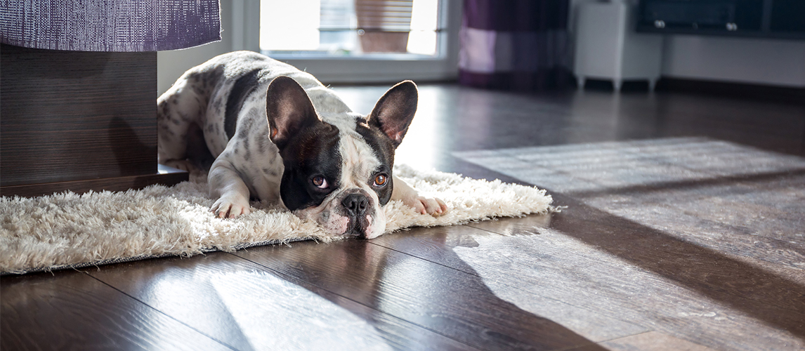Dog lying on the carpet