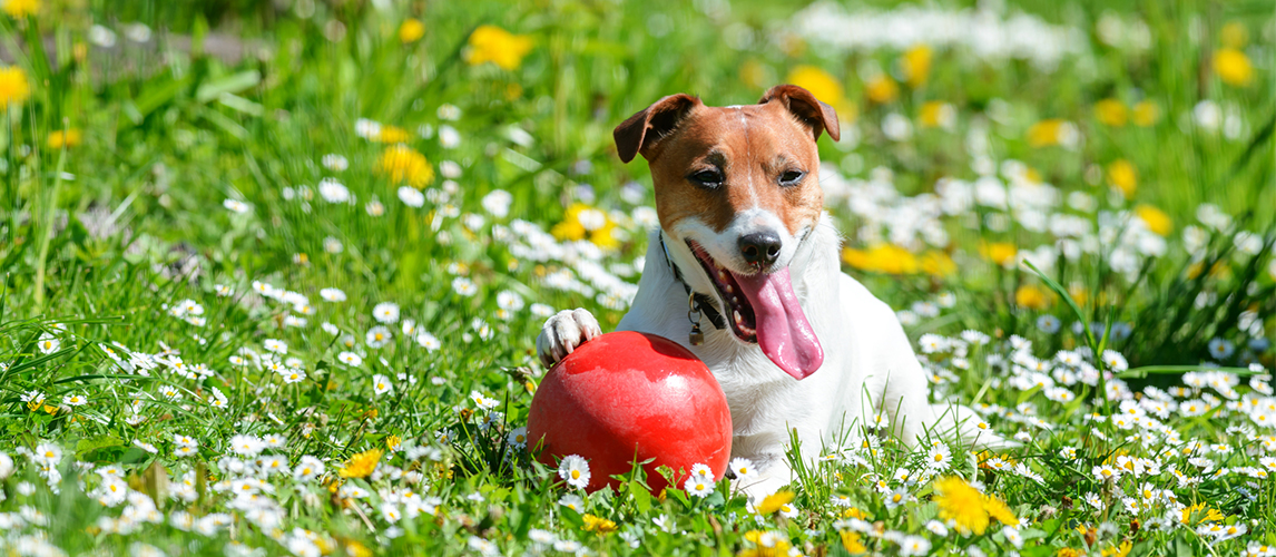 Jack russel terrier playing with a ball