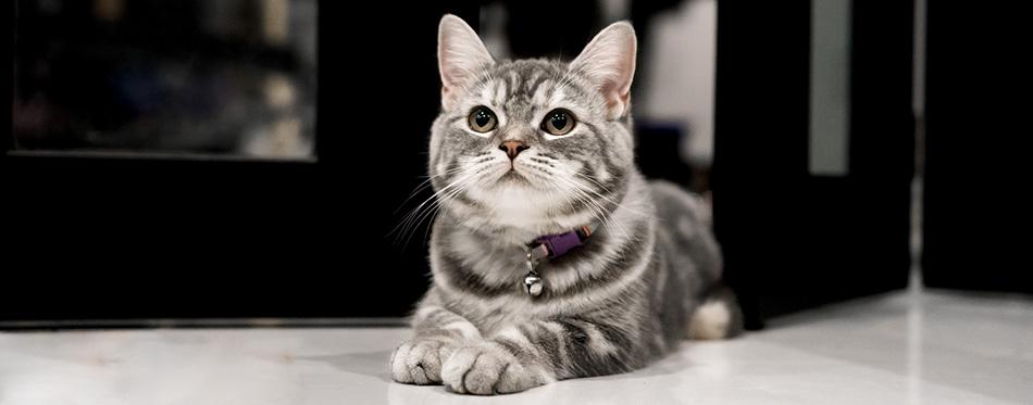 Moggy cat lying