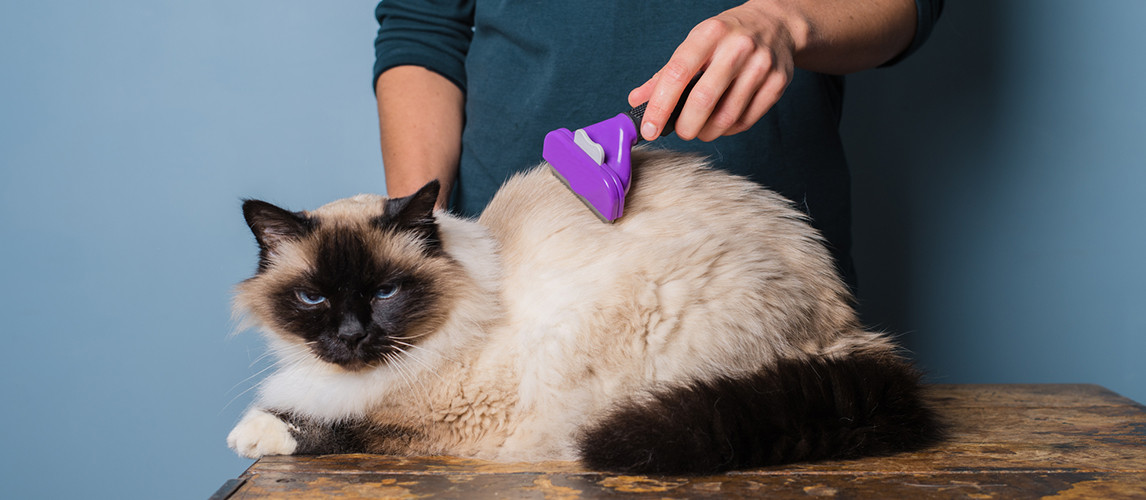 Woman grooming a birman cat