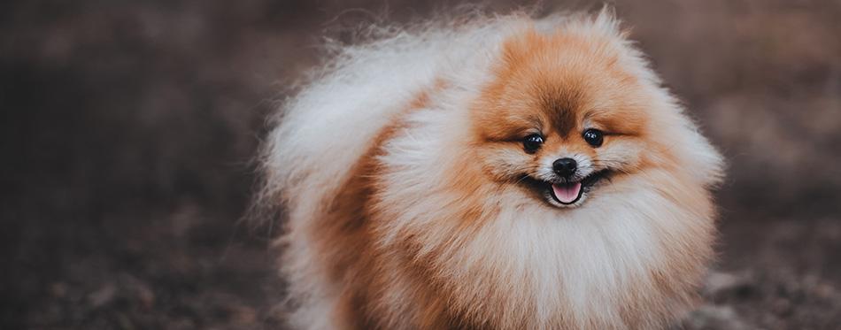 A beautiful fluffy dog of Pomeranian spitz