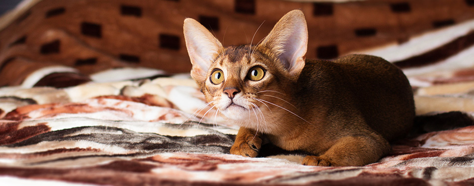 Abyssinian cat lying on bed