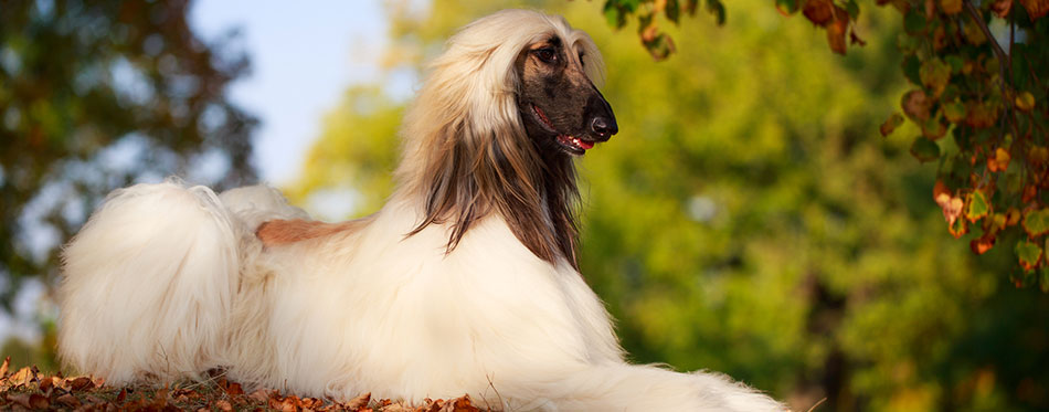 Afghan Hound lying in the park