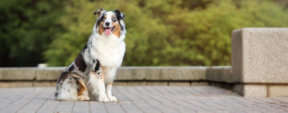 Australian shepherd dog in the park