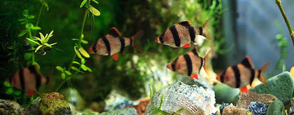 Barbus aquarium
