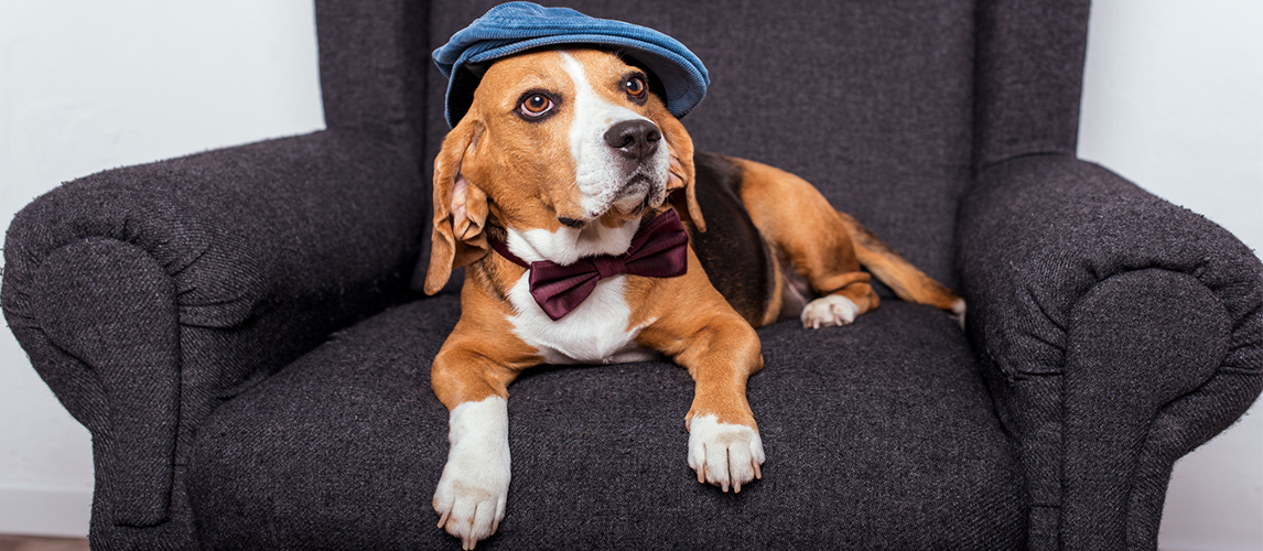 Beagle dog with hat and tie