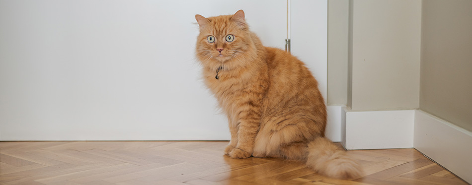 Beautiful ginger long hair cat