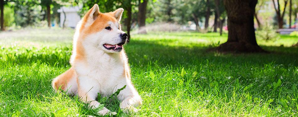 Akita Inu lying in the grass