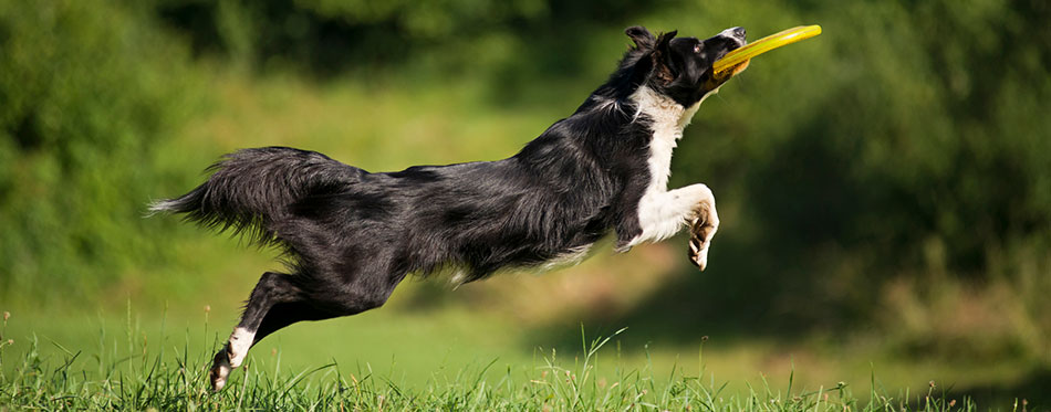 Border collie playing fetch with a frisbie