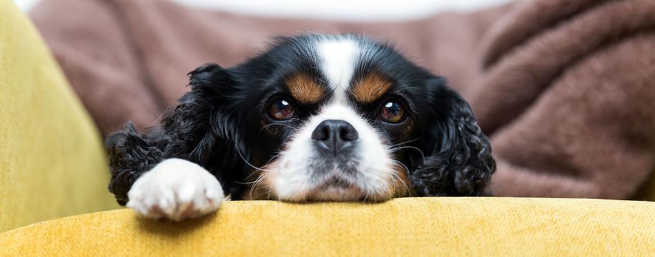 Cavalier King Charles Spaniel on sofa