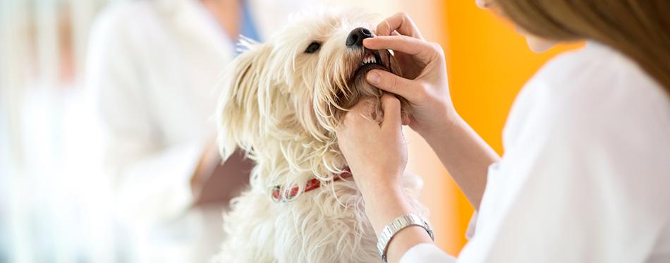 Checking teeth of Maltese dog
