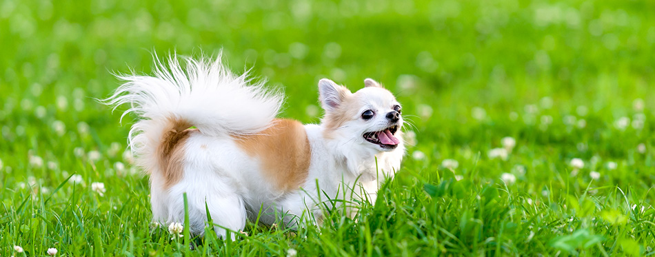 Cheerful chihuahua dog on meadow