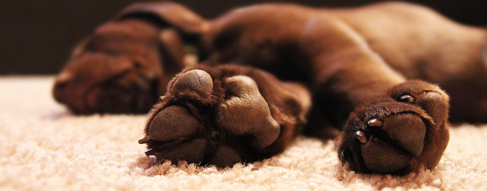 Chocolate lab puppy sleeping