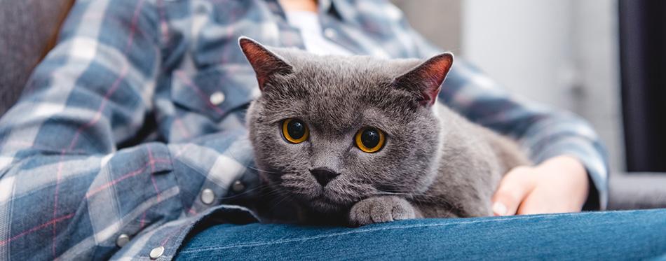 Cropped shot of beautiful british shorthair cat