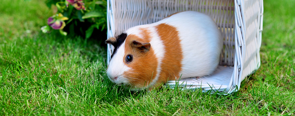 Cute guinea pig on the grass