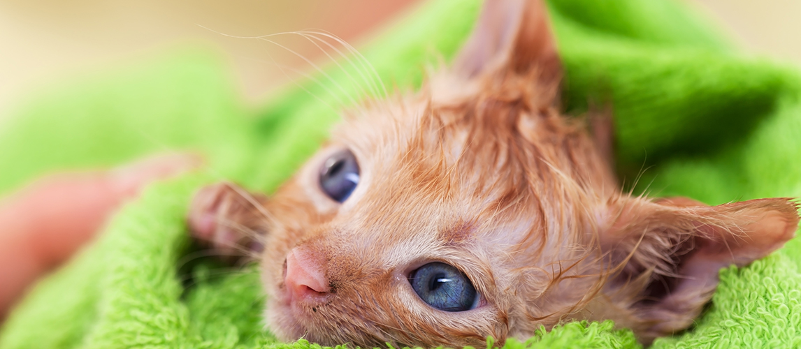 Cute kitten with hope in her eyes dry after bath rolled in a