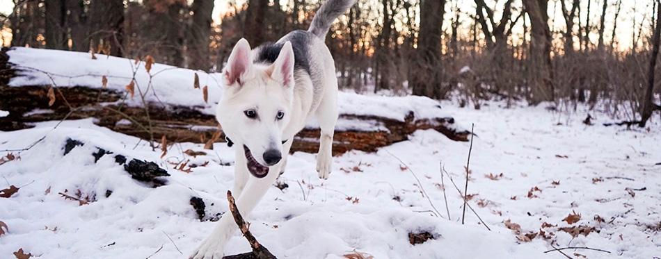 Czechoslovakian Wolfdog in a forrest