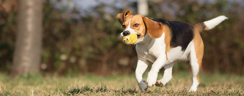 Dog running with a toy in her mouth