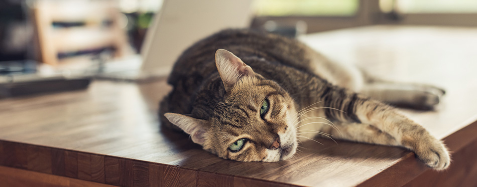 Fat tabby domestic cat sleeping on table
