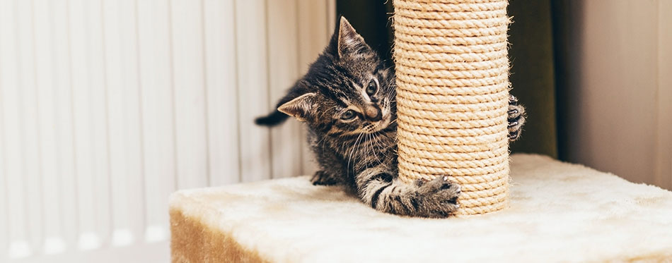 Feisty little kitten playing on a scratch post