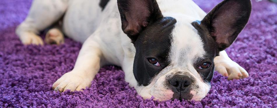 French bulldog lying on the carpet