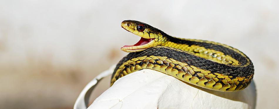 Garter Snake Yawn