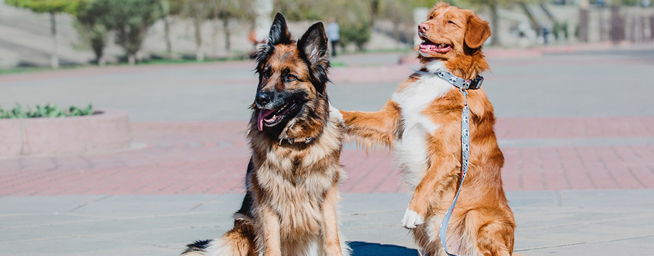 German Shepherd and Nova Scotia Duck Tolling Retriever t