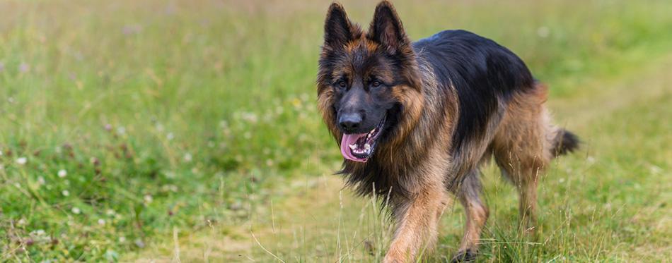 German Shepherd walking on the grass