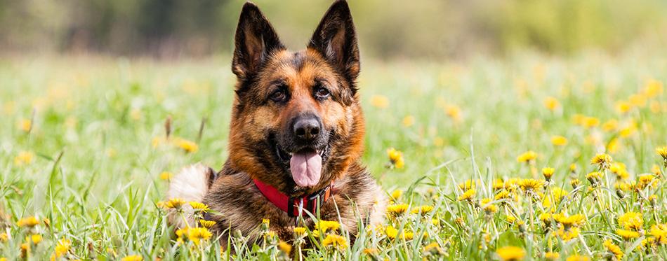 German shepherd dog lying in the grass