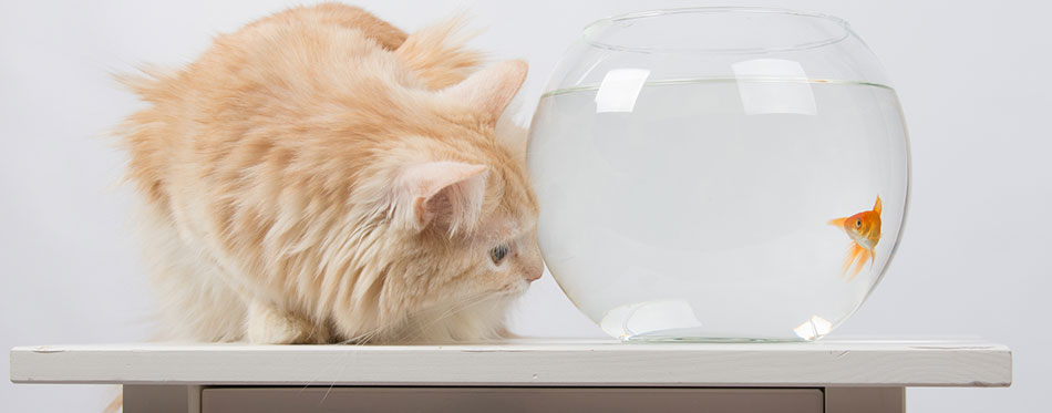 Ginger cat standing next to a fish tank