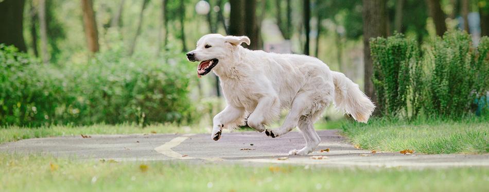 Golden Retriever dog in the park