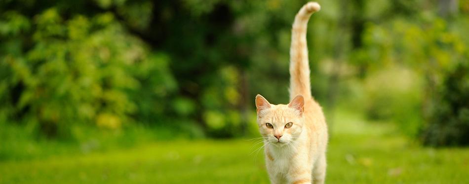 Graceful Cat Walking on Green Grass