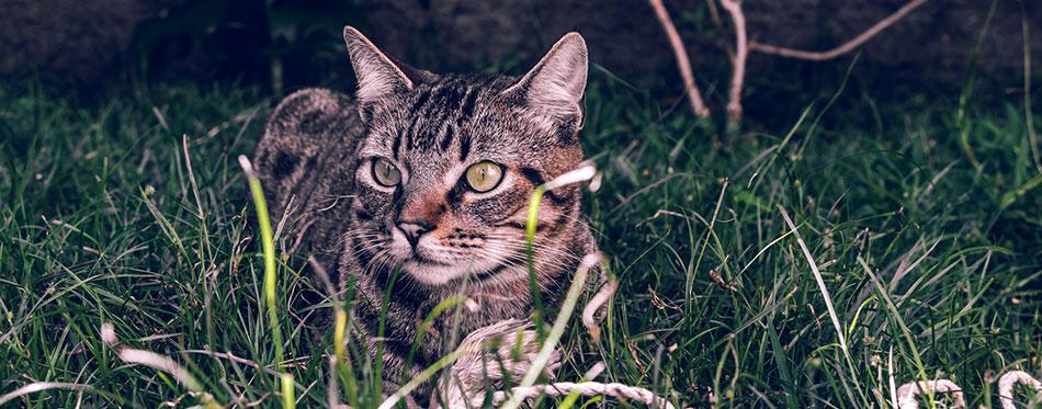 Gray Manx cat lying in the grass