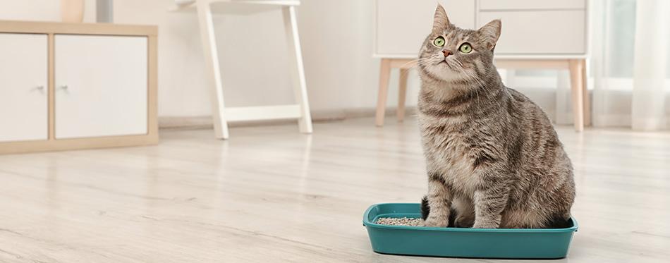 Grey cat in a litter box