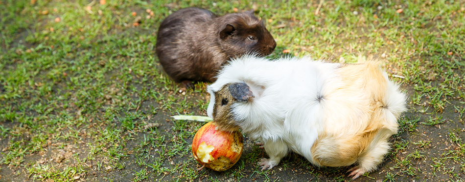 Guinea pigs eating an apple in the garden