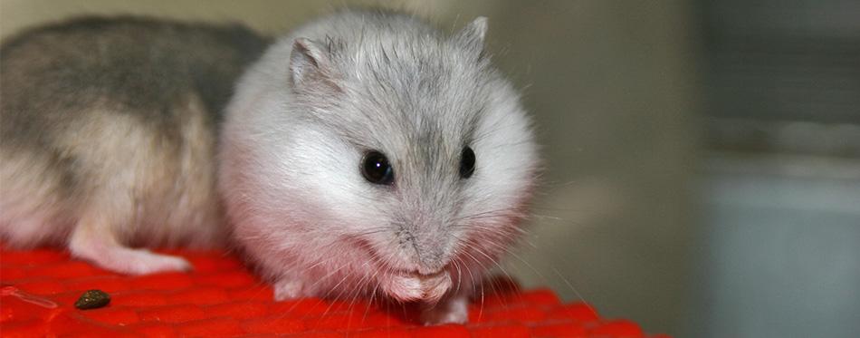 Hamsters eating grape