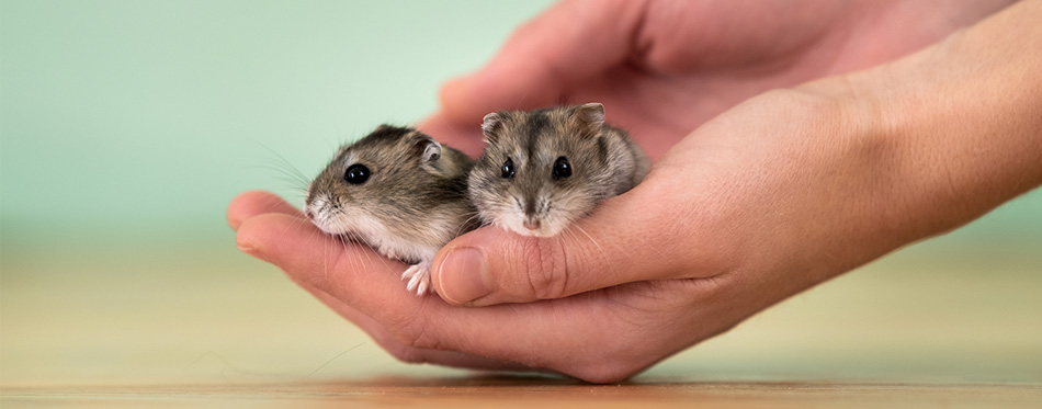Hamsters in hands